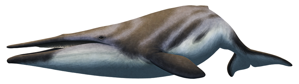 An illustration of an extinct early baleen whale. The front half of its mouth is toothless, and the back haf has rows of short baleen plates.