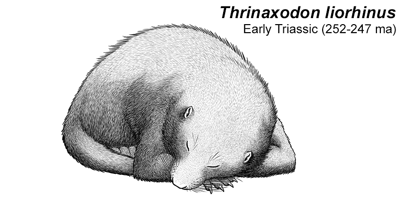 An illustration of an extinct cynodont, a close relative of early mammals. It's a vaguely badger-like animal with small ears and a long tail, pictured curled up asleep.