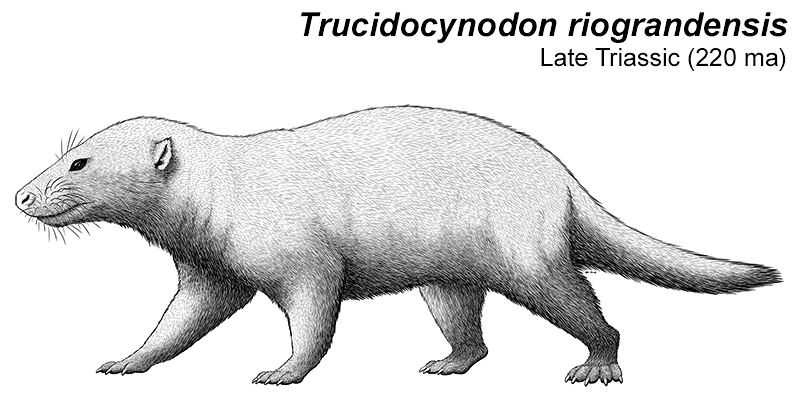 An illustration of an extinct cynodont, a relative of early mammals. It's a somewhat badger-like animal with small ears and a long tail.