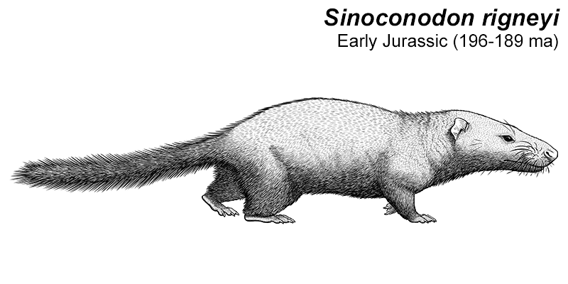 An illustration of an extinct early mammal. It resembles a mixture of a rat and a weasel, with a long low blunt snout, small ears, short legs, and a long bushy tail.