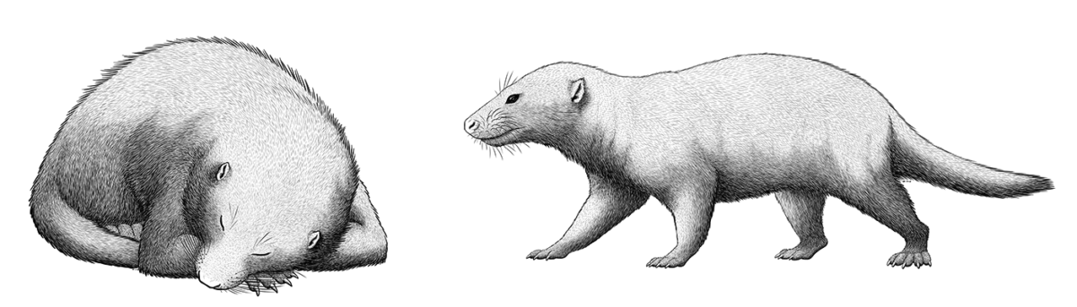 An illustration of two extinct cynodonts, relatives of early mammals. One is a vaguely badger-like animal with small ears and a long tail, pictured curled up asleep. The other is also a somewhat badger-like animal with small ears and a long tail.