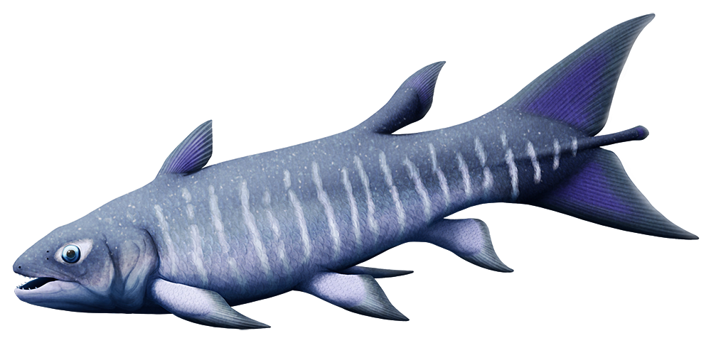 An illustration of an extinct coelacanth. It has a large forked shark-like tail.