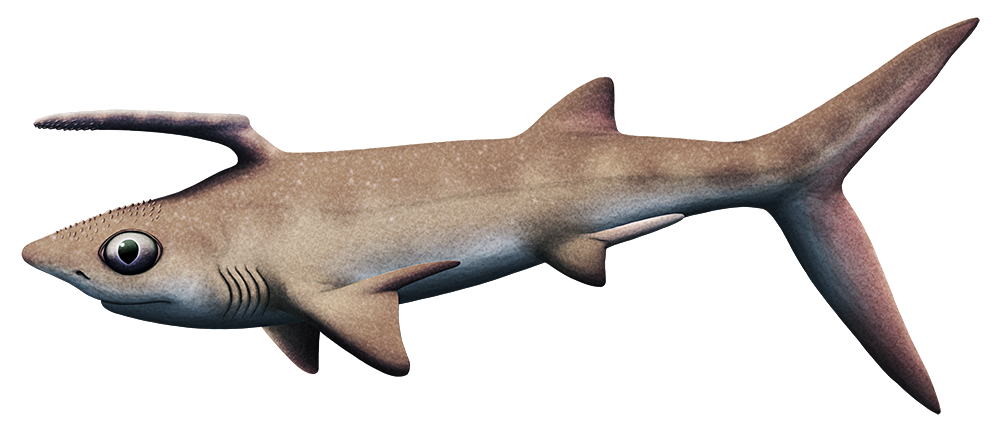 An illustration of an extinct shark-like fish. It has large eyes and a long forward-pointing spint growing from just behind its head.
