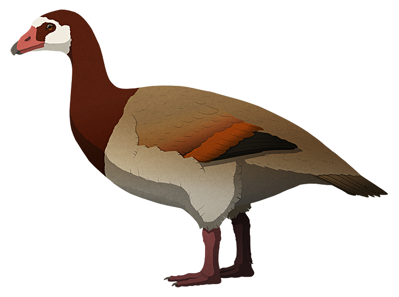 A stylized illustration of a large extinct flightless goose-like waterfowl bird. It has small wings and thick legs, with reduced webbing between its toes.