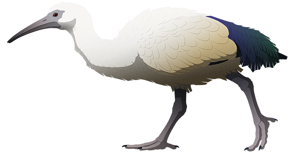 A stylized illustration of an extinct ibis bird. It resembles an African sacred ibis, but with a shorter straighter beak and thicker legs.