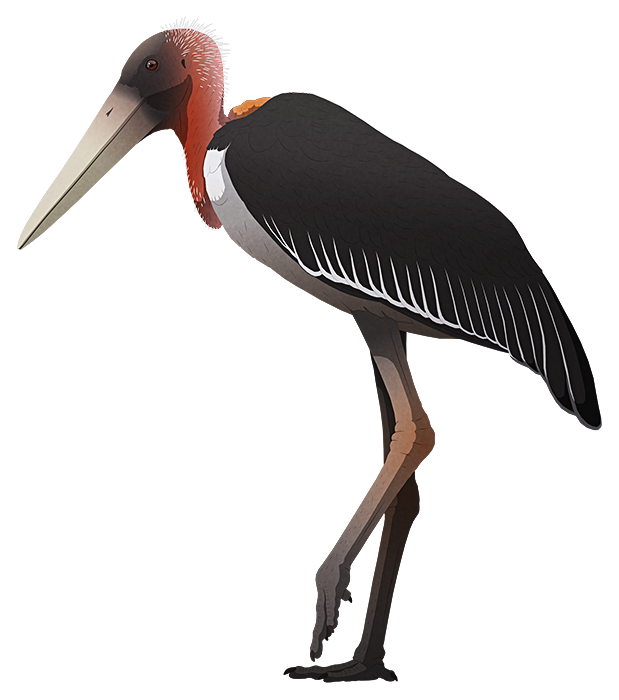 A stylized illustration of an extinct giant stork. It has a long heavy beak, a bare head and neck, large wings, anf long legs.