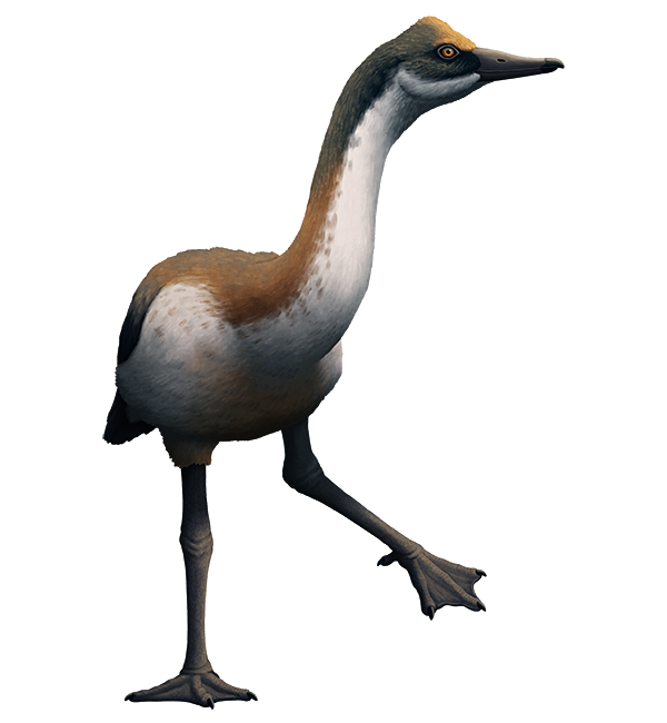 An illustration of an extinct waterfowl bird. It is somewhat goose-like, with a long neck, but also has a bony bulge on the top of its head and rather long legs.