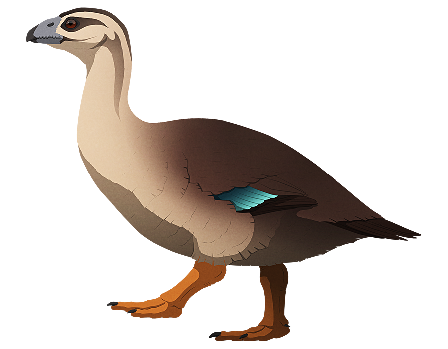 A stylized illustration of an extinct goose-like flightless duck. It has a large serrated beak, a long neck, small wings, a fat body, and stout legs.