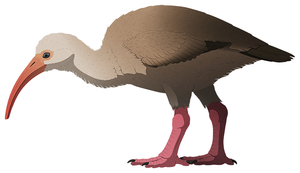 A stylized illustration of an extinct flightless ibis. It has a downward-curving beak, small wings, and relatively short thick legs compared to other ibises.
