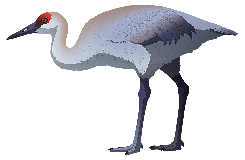 A stylized illustration of an extinct flightless sandhill crane. It has a somewhat chunkier beak than its modern relatives, along with smaller wings and thicker legs.