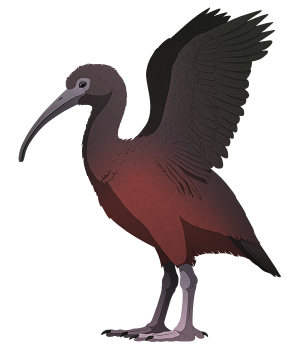 A stylized illustration of an extinct flightless ibis. It has stout legs, and has its wings raised as if threatening to hit something with its heavy club-like arm bones.