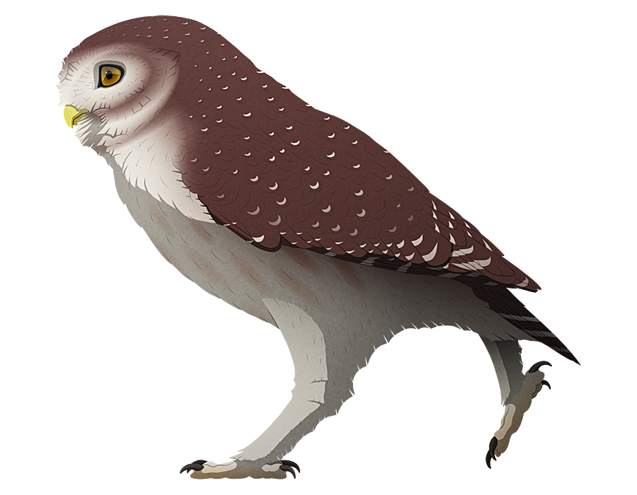 A stylized illustration of an extinct giant little owl. It has longer legs than its modern relatives, almost resembling a large burrowing owl.