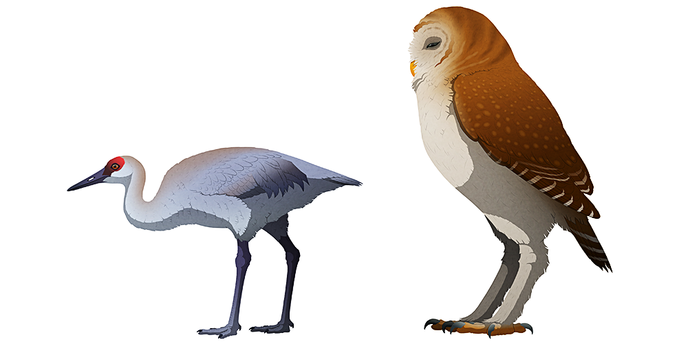 A stylized illustration of two extinct birds. The first is a flightless sandhill crane, with small wings. The second is a much taller and larger owl, with short wings and long stilt-like legs.