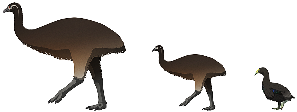 A stylized illustration of three extinct flightless birds. The first two are a female and male giant moa, with the female being twice the size of the male. They have tiny heads, long necks, no wings, and long thick legs. The third bird (an adzebill) is the smallest, with a triangular beak and short stout legs.