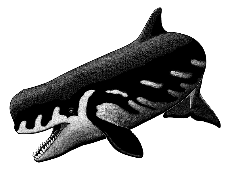 A black-and-white ink illustration of an extinct sperm whale. It has a fairly short blunt snout, somwhat like an orca, and a mouth full of large teeth.