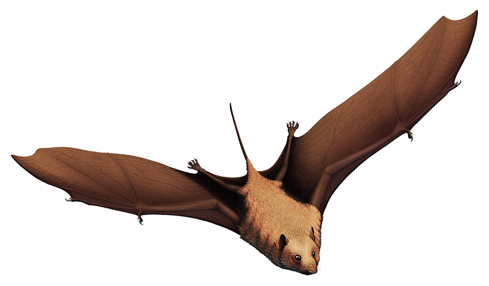 An illustration of an extinct early bat in flight. It has claws on both its thumb and the first wing finger one each wing, along with small ears and a long tail.
