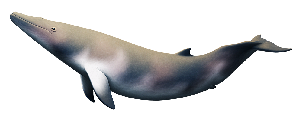 An illustration of an extinct ancient baleen whale. It has less massive jaws than modern whales, and tiny vestigial hind flippers.