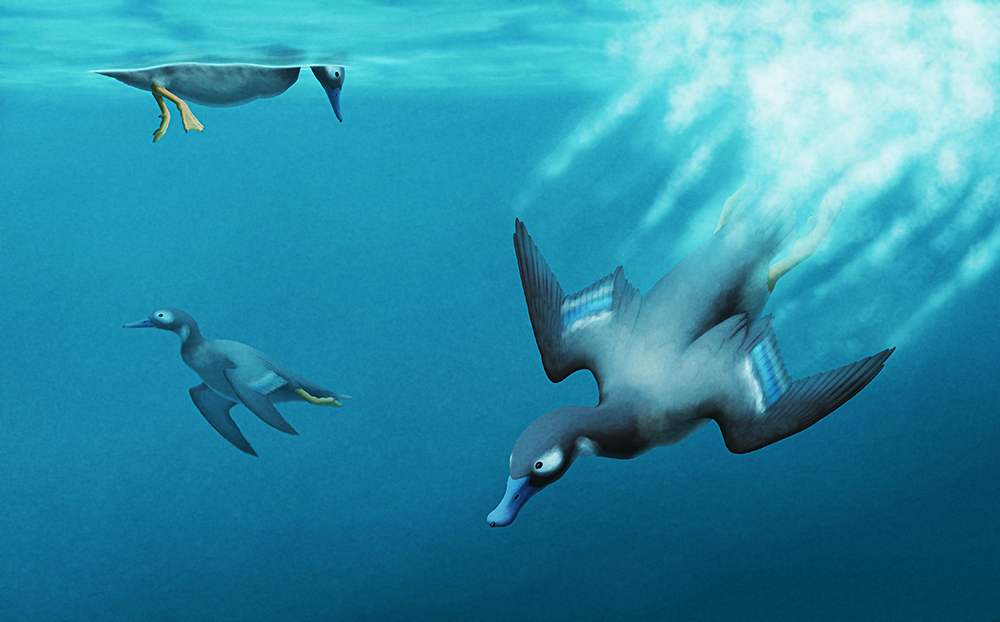 "An illustration of some exinct ducks diving and swimming. They have short wings like an auk or penguin, and are using them to ""fly"" underwater."
