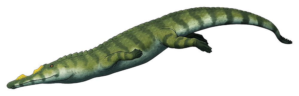 A colored line drawing of an extinct phytosaur, a crocodile-like semi-aquatic reptile. It has a long snout with two raied bony crests along its upper jaw, and nostrils up near its eyes.