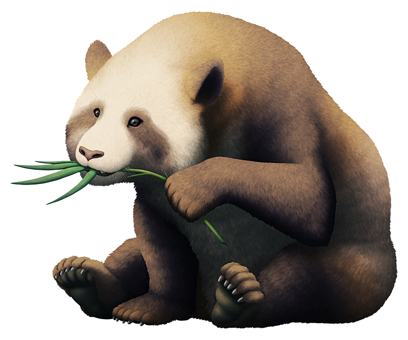 An illustration of an extinct relative of giant pandas, sitting and eating a bamboo branch. It has more brownish fur than modern pandas, with less defined white markings.