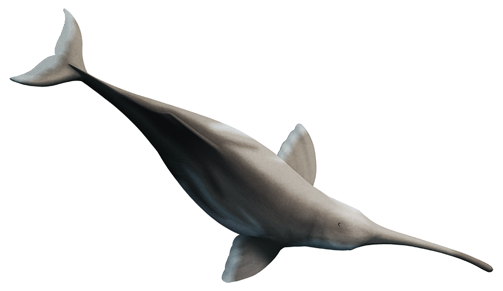 An illustration of an extinct dolphin, viewed from above. It has a very long narrow snout that bends noticeably to the right along its length.