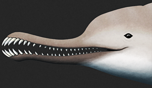A closeup view of the jaws of Furcacetus.