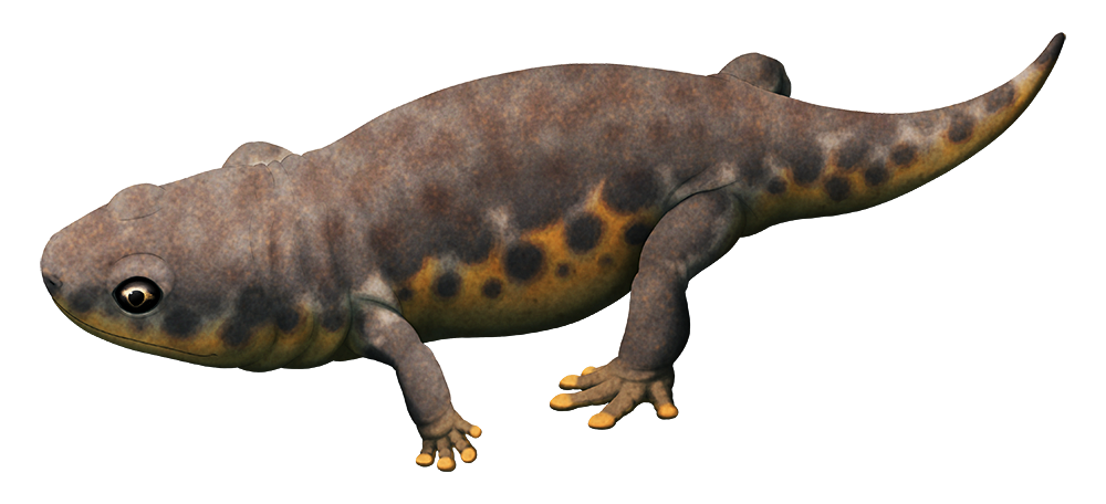 An illistration of an extinct amphibian. It reembles a chunky salamander, with a short tail and rounded pads on the ends of its toes.