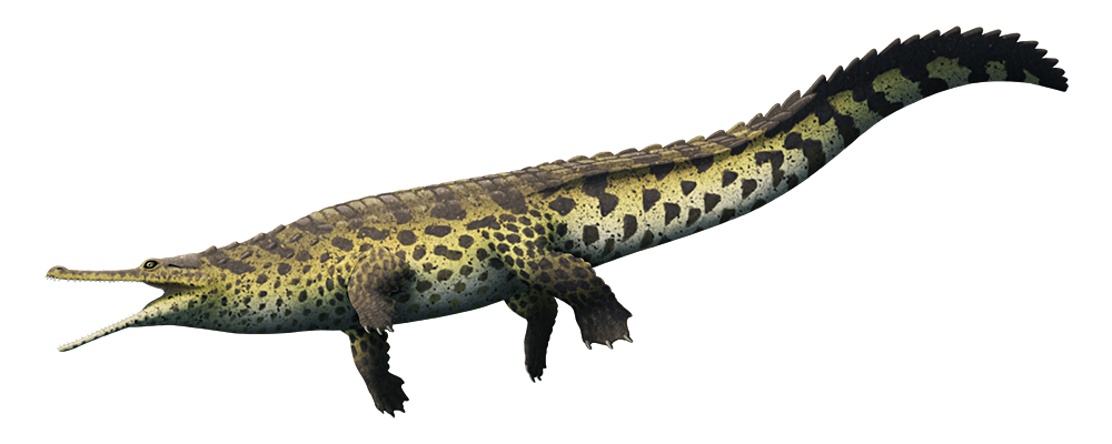 An illustration of an extinct relative of modern crocodiles. It has a long gharial-like snout, a slightly hunchbacked body, four paddle-like legs, and a long vertically flattened tail.