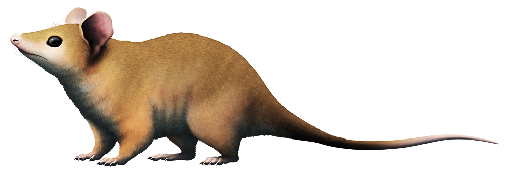An illustration of an extinct mammal related to marsupials. It's a mouse-like animal with large ears and a long naked tail.