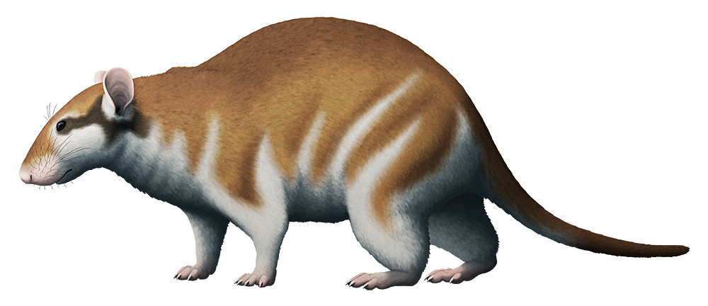 An illustration of an extinct giant dormouse. It's more chunkily built than modern dormice, with a shorter thicker snout.