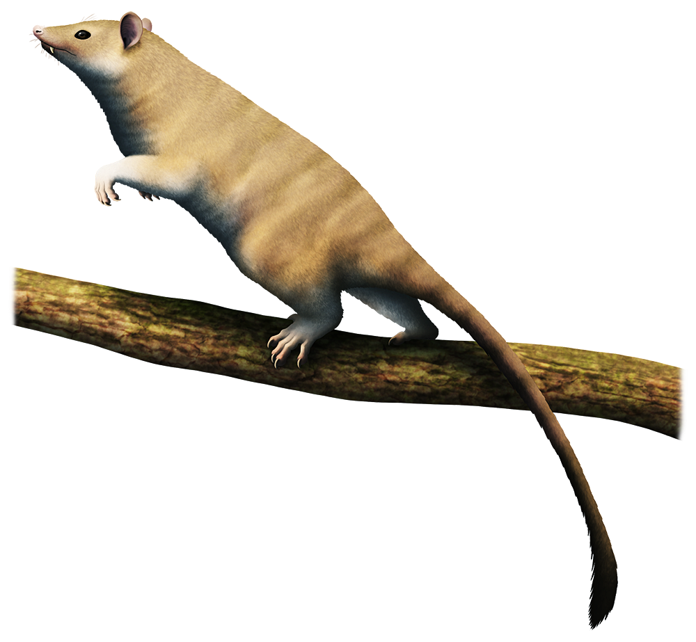An illustration of an extinct mammal related to marsupials, climbing on a tree branch. It's an opposum-like animal with protruding fangs and a long furred tail.
