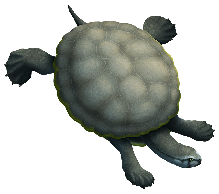 An illustration of an extinct swimming turtle. It has a very wide and flat carapace, almost circular in shape.