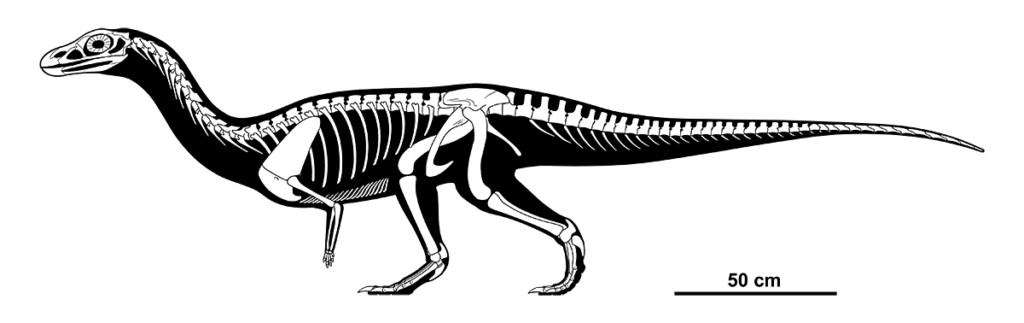 A skeletal diagram of an extinct pseudosuchian, a relative of modern crocodiles. It resembles a dinosaur much more than a croc, standing bipedally, with a long neck, tiny arms, and a long counter-balancing tail.