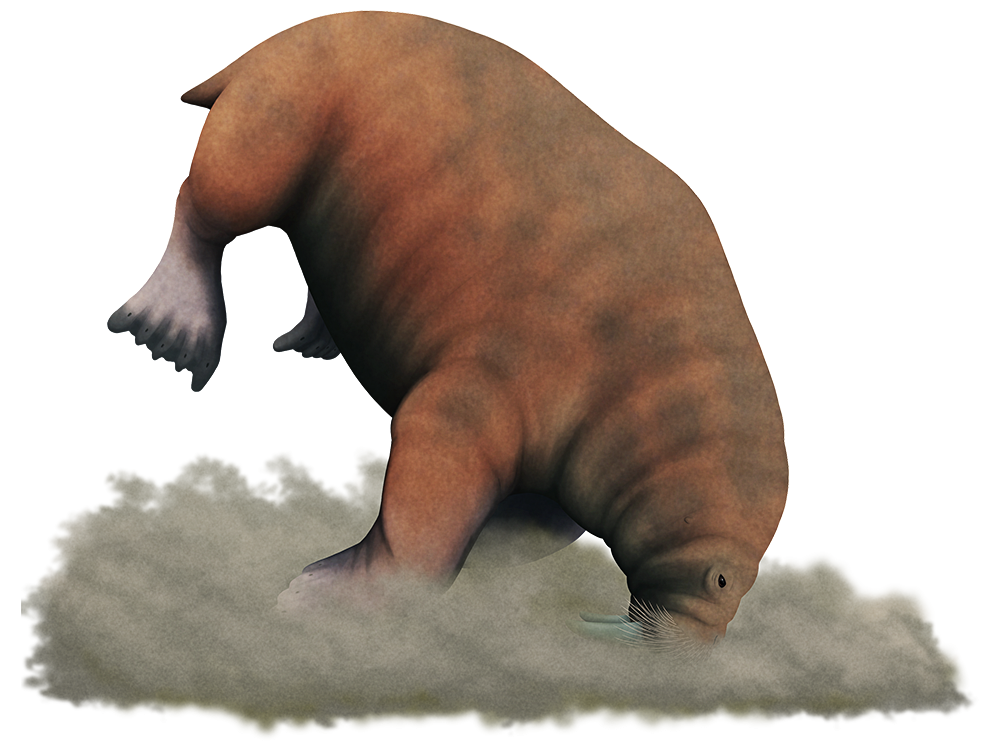 An illustration of an extinct species of walrus. It has shorter thicker tusks than modern walruses, and it's depicted grubbing around on a muddy seafloor for buried shellfish.