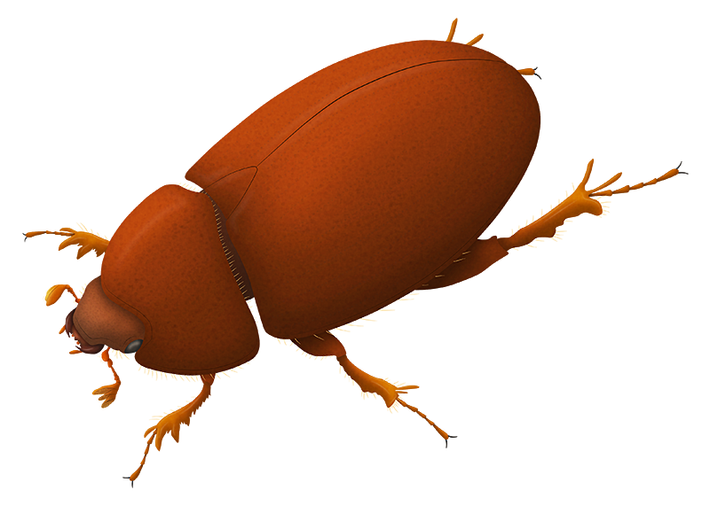 """An illustration of an extinct beetle. It's reddish-borwn colored with a smooth carapace, spiny legs, and short antennae with three-pronged """"clubs"""" at the tips."""