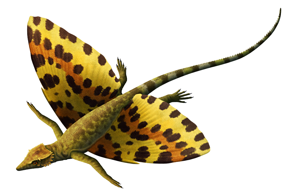 """An illustration of an extinct gliding reptile. It has a lizard-like body, spiky scales on its head, and large """"wings"""" along the sides of its belly formed from struts of bone and skin membranes."""